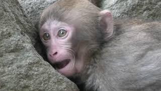 迷子の子猿 (国立公園 高崎山自然動物園) 2019年12月4日