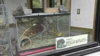 アカネズミ (鹿児島市 平川動物公園) 2019年4月17日