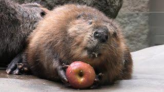 American beaver (KOBE ANIMAL KINGDOM, Hyogo, Japan) April 23, 2021