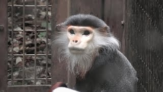 アカアシドゥクラングール (よこはま動物園 ズーラシア) 2020年9月16日