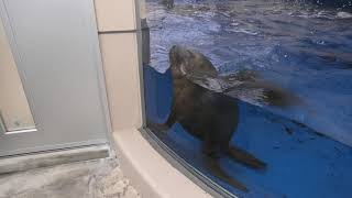 South American Sea Lion (TOBA AQUARIUM, Mie, Japan) December 25, 2020