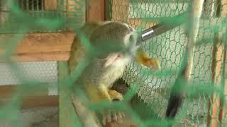 Squirrel Monkey (Forest and Squirrel Amusement Park Marchen-Mura, Saga, Japan) April 20, 2019