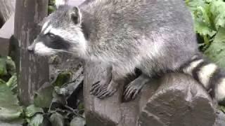 アライグマ (日立市かみね動物園) 2017年10月21日