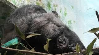 チンパンジー の『コータ』 (わんぱーくこうちアニマルランド) 2019年12月21日