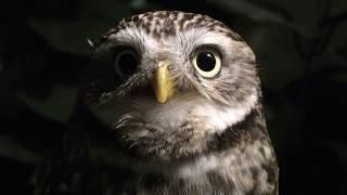 コキンメフクロウ の『ピース』 (嚴島フクロウの森) 2018年5月20日