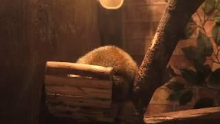 スローロリス と フクロモモンガ (ひらかたパーク・どうぶつハグハグたうん) 2019年11月3日