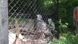 扇風機で涼むシロフクロウ (多摩動物公園) 2017年8月27日
