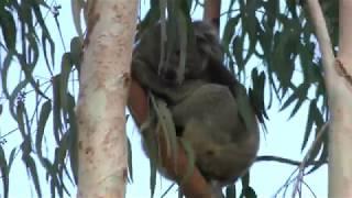 ユーカリの樹の上で眠るコアラのアークくん (天王寺動物園) 2017年11月3日