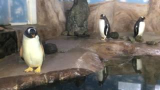 ジェンツーペンギンのうんち (那須どうぶつ王国) 2017年7月23日