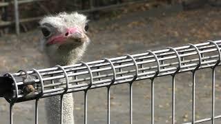 ダチョウのクランキーくん (日本平動物園) 2017年12月10日