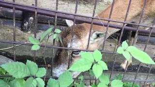 ムフロンの雌 (多摩動物公園) 2017年8月27日