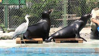 California sea lion time (TENNOJI ZOO, Osaka, Japan) June 25, 2021