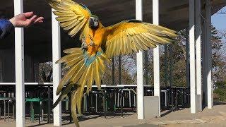 ルリコンゴウインコ の飛翔練習 (仙台市八木山動物公園) 2019年4月13日