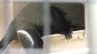 ブラッザグエノン (札幌市 円山動物園) 2019年6月13日