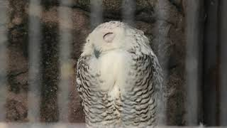 Snowy owl (TOBU ZOO, Saitama, Japan) September 18, 2020