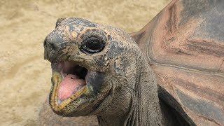 アルダブラゾウガメ の『マンネンくん』 (東武動物公園) 2020年9月18日