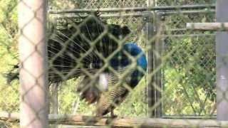 インドクジャク (宮崎市フェニックス自然動物園) 2019年12月9日