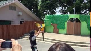 羽を広げるルリコンゴウインコ (東武動物公園) 2017年6月11日