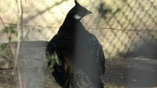 パラワンコクジャク (多摩動物公園) 2019年1月18日