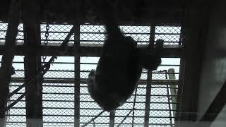 チンパンジー の『アニー』 (姫路セントラルパーク) 2019年10月23日