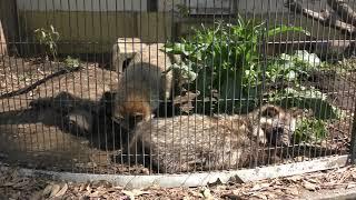 ホンドタヌキ (熊本市動植物園) 2019年4月18日