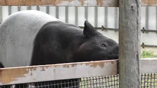 柵をかじるマレーバク (東武動物公園) 2017年10月15日