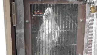 キバタン の『オキバ』 (京都市動物園) 2019年1月26日