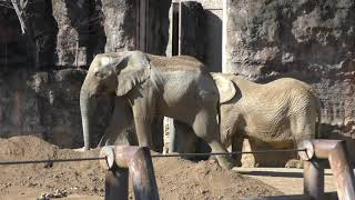 3頭の アフリカゾウ (多摩動物公園) 2019年1月18日