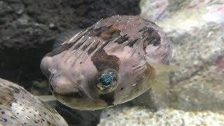 ハリセンボン (久慈地下水族科学館 もぐらんぴあ水族館) 2019年8月11日