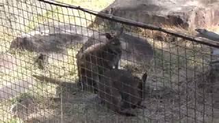 ベネットアカクビワラビー (高知県立のいち動物公園) 2018年3月24日