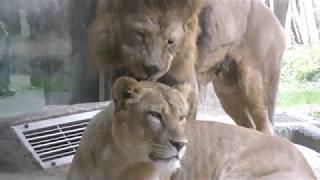 3頭のライオン (日本平動物園) 2017年12月10日