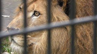 ライオン の『ジオン』 (鹿児島市 平川動物公園) 2019年4月17日