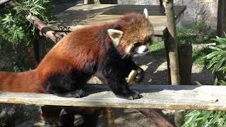 レッサーパンダの『カイくん』と『カイちゃん』 (高知県立のいち動物公園) 2018年3月24日