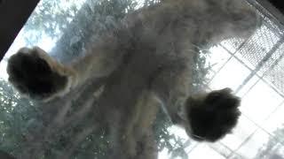 頭上を歩く ライオン と ホワイトタイガー (群馬サファリパーク) 2018年11月10日