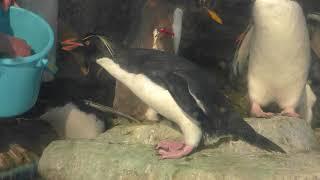 海獣ひろばのペンギンたち (仙台うみの杜水族館) 2018年1月20日