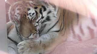 アムールトラ の『ミルル』 (福山市立動物園) 2019年2月25日