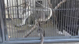 雪を食べるブラウンケナガクモザル (大宮公園小動物園) 2018年2月4日