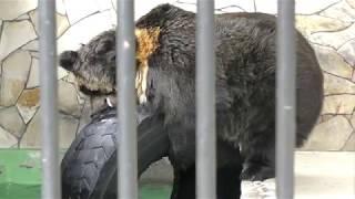 ウマグマのシュウくんによるタイヤ遊び (大内山動物園) 2018年1月3日