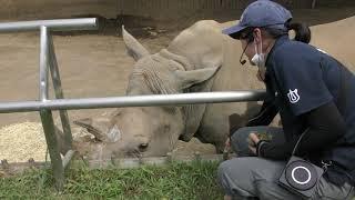 シロサイ の ランチタイム (静岡市立 日本平動物園) 2019年9月29日