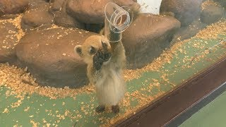 アカハナグマ の赤ちゃんたち (伊豆シャボテン動物公園) 2019年10月1日