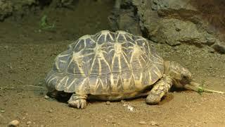 マダガスカルリクガメ属 Astrochelys