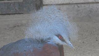 ムネアカカンムリバト と オウギバト (熊本市動植物園) 2019年4月18日