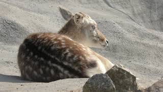 ファロージカ (しろとり動物園) 2019年3月1日