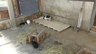 ウサギのおへやと ヒツジ の『モコ』 (いしかわ動物園) 2019年8月18日