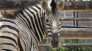 チャップマンシマウマ (神戸市立 王子動物園) 2020年8月4日