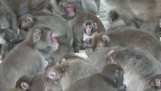 ニホンザルの餌付けの時間 15:30 (国立公園 高崎山自然動物園) 2019年12月4日
