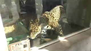 ジャガーのアサヒくん (京都市動物園) 2017年11月5日
