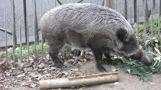 ニホンイノシシ の『キントン』と『クロマメ』 (多摩動物公園) 2019年1月18日