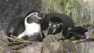 フンボルトペンギン (新屋島水族館) 2019年2月28日