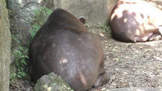 ブラジルバク (伊豆シャボテン動物公園) 2019年10月1日
